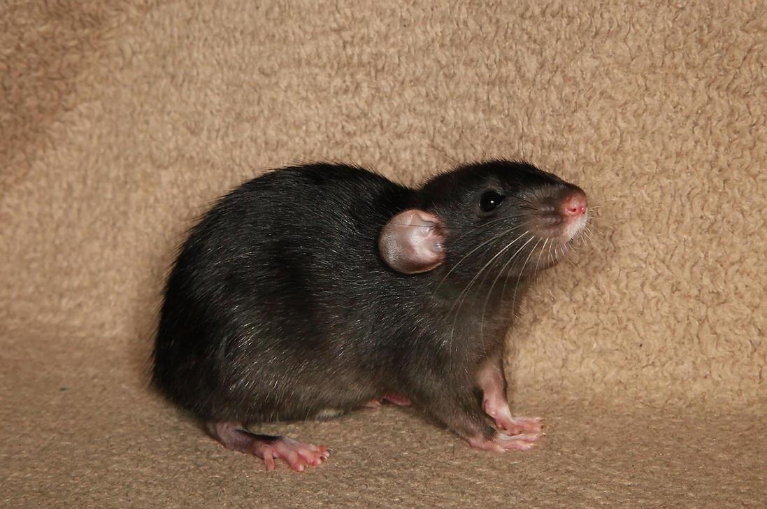 A shot of Brandy - Fancy Rat Stock image 1 by NickiStock