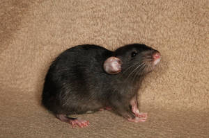 A shot of Brandy - Fancy Rat Stock image 1 by NickiStock