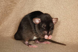 A shot of brandy - Fancy Rat Stock image 5 by NickiStock