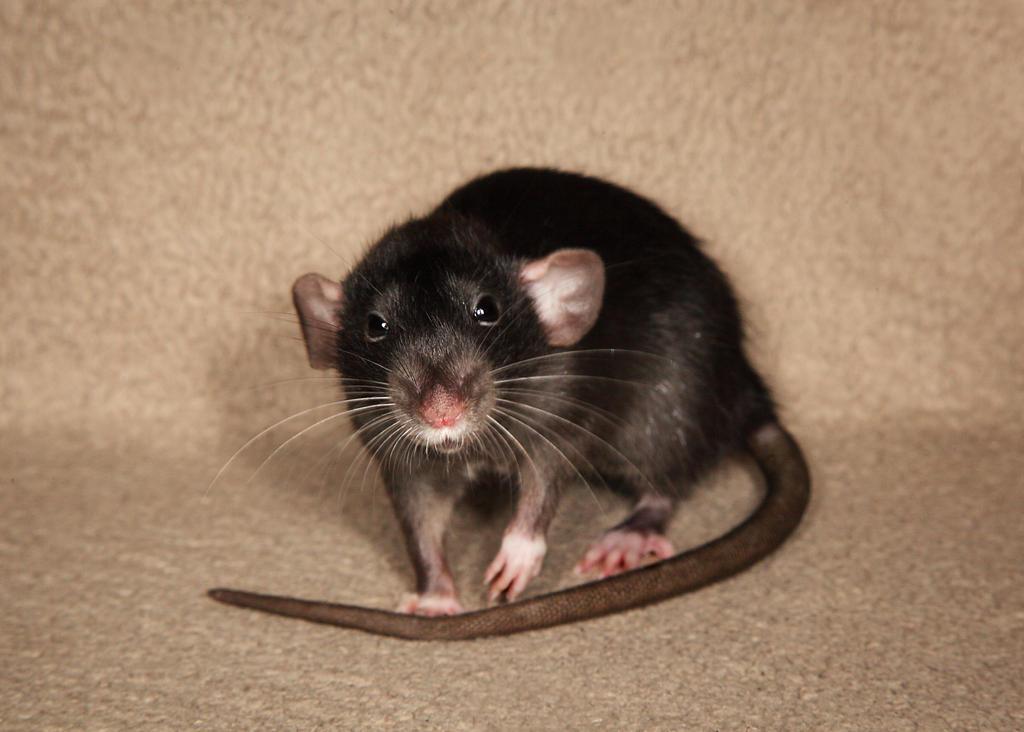 A shot of Brandy - Fancy Rat Stock image 6 by NickiStock