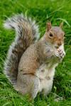 Squirrel Stock 1