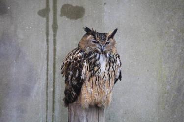 Owl Stock Image by NickiStock