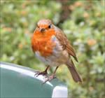 Robin1