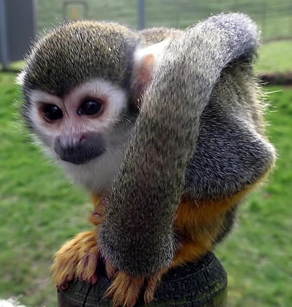 Monkey1 by NickiStock