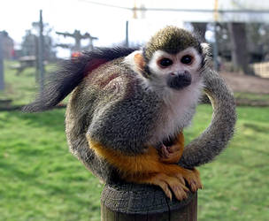 Monkey2 by NickiStock