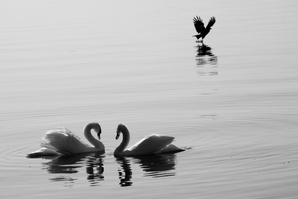 swans by Modigliani77