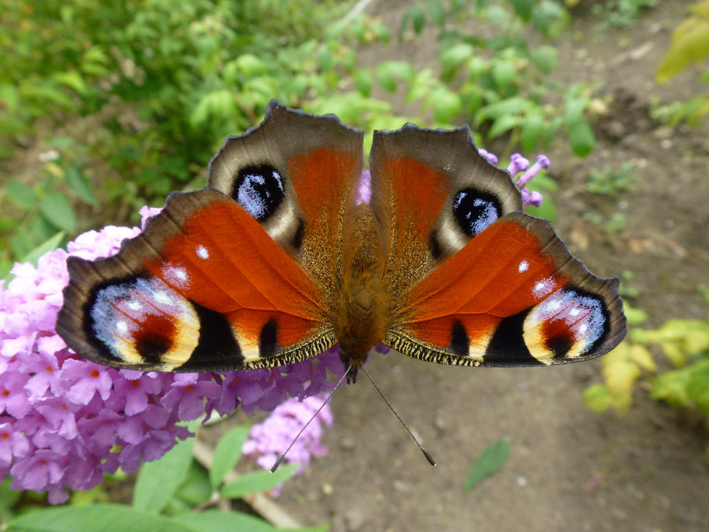 Peacock Butterfly (Nymphalis io) by SrTw