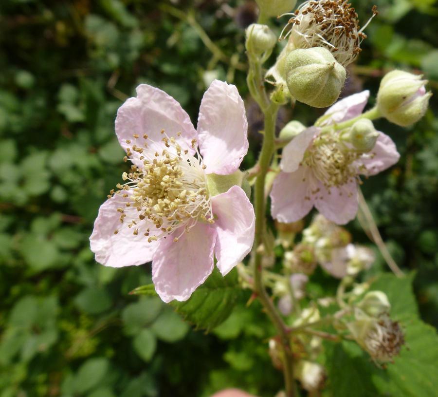 Bramble flower, Back Garden by SrTw on DeviantArt