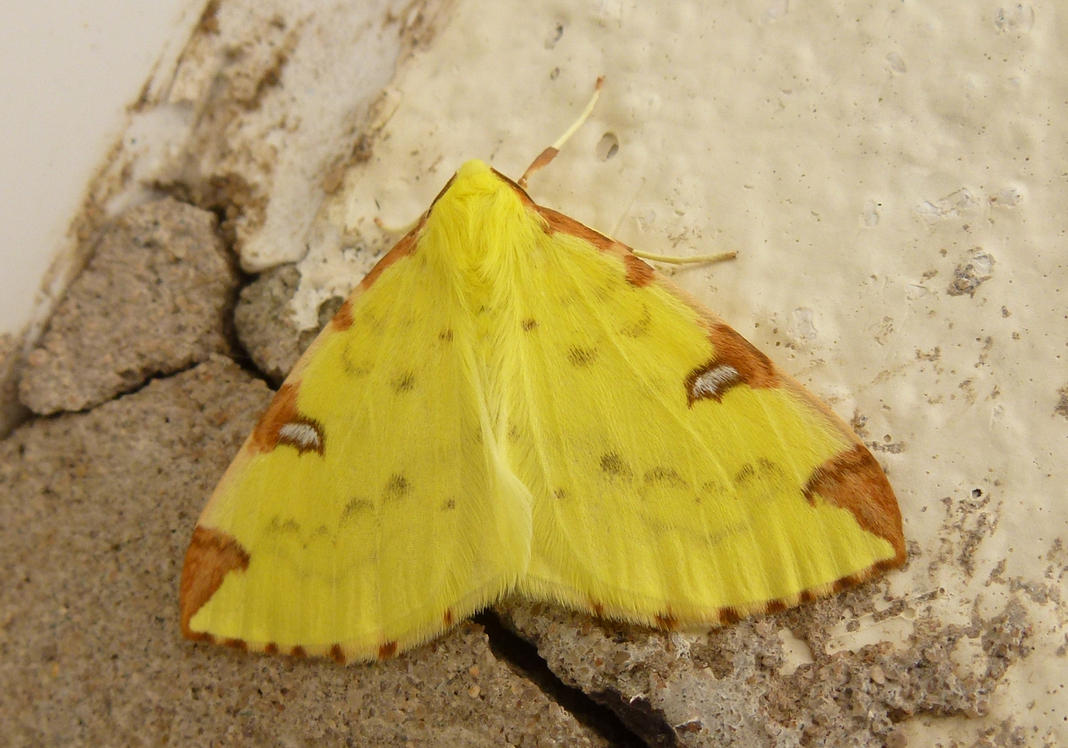 Brimstone Moth Opisthograptis luteolata Front Door by SrTw