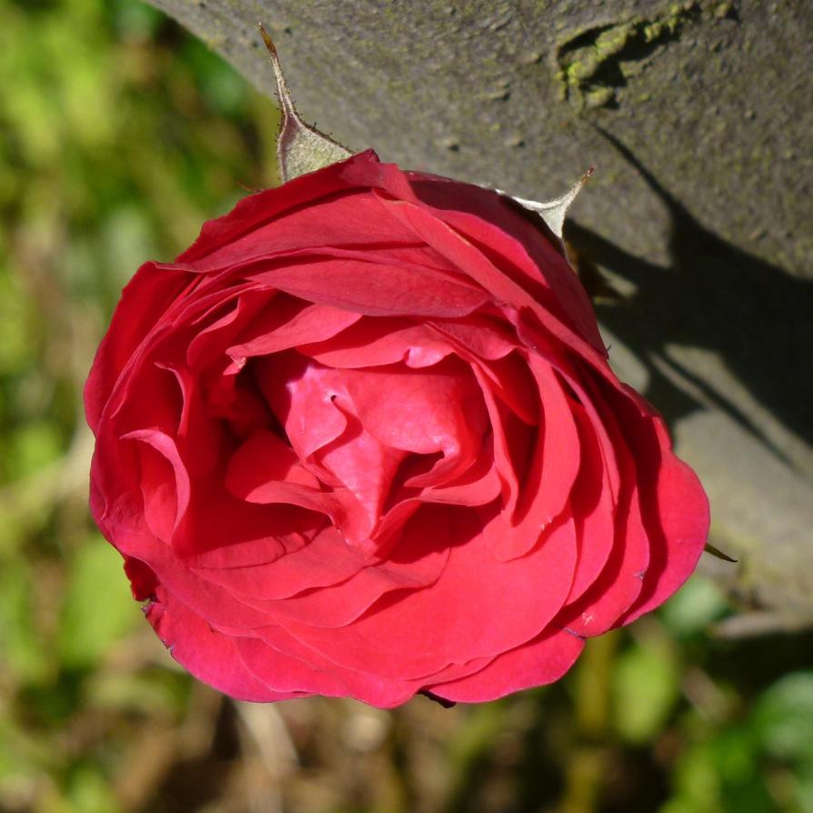 Uma Rosa No Meu Jardim Para Marta by SrTw