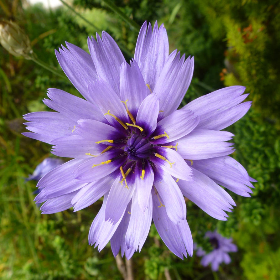 Cupid's Dart (Catananche caerulea) Front Garden 2 by SrTw