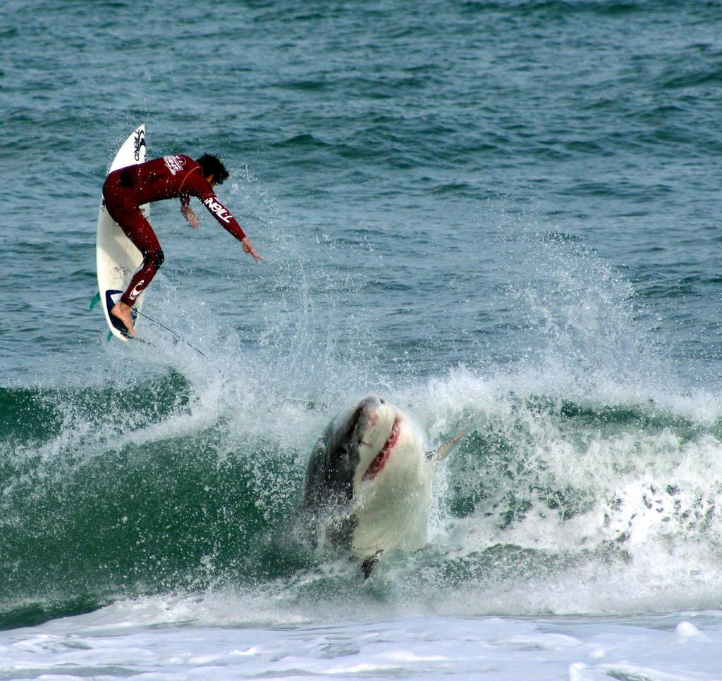 Sebastion Inlet Shark ...