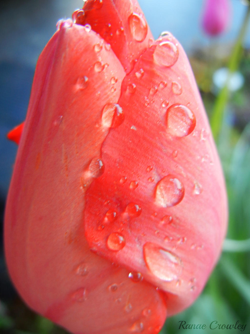 Drops on a tulip by Ranae490