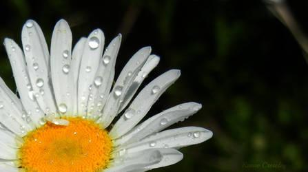 Morning daisy by Ranae490