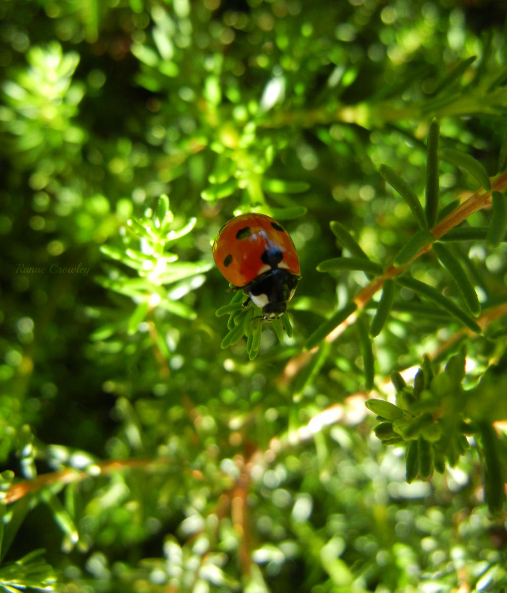Red Ladybug by Ranae490