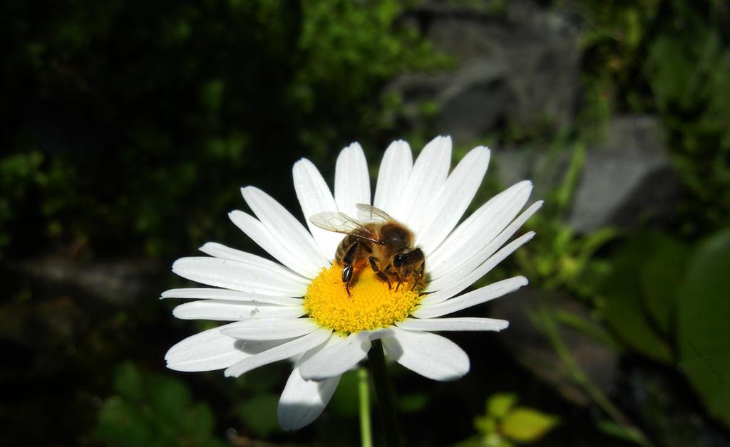 Bee on daisy by Ranae490