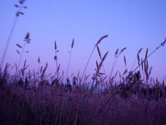 Purple Wheat at Sunset by indigohippie