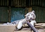 Cute Tiger Pose by MonikaZagrobelna