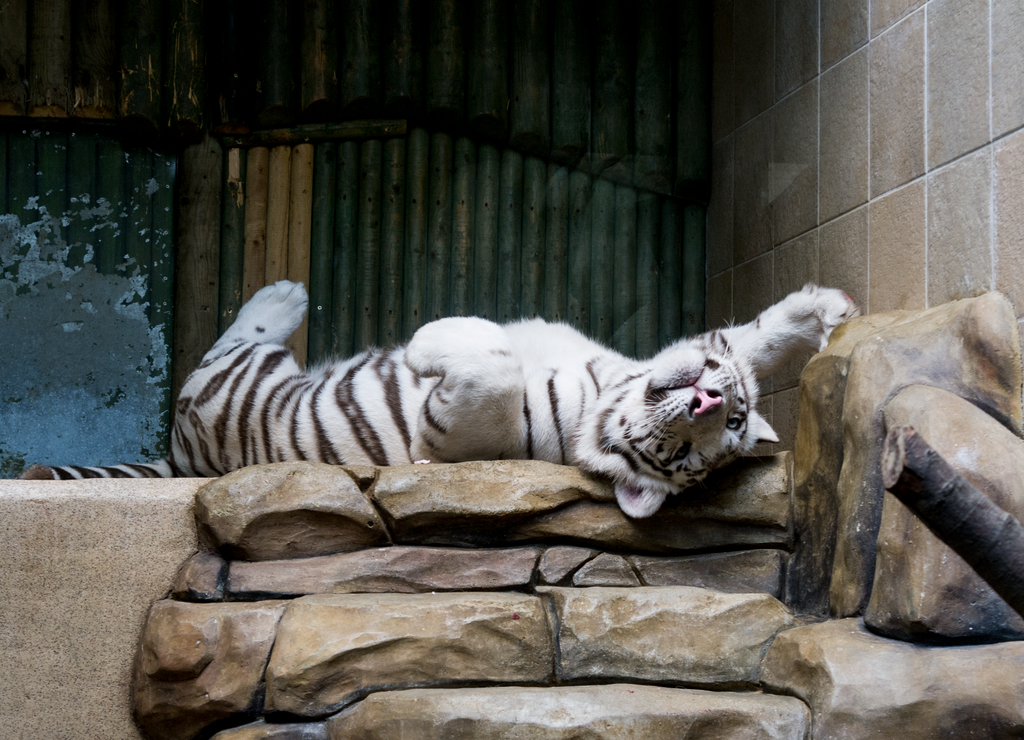 Cute Tiger Pose 2 by MonikaZagrobelna