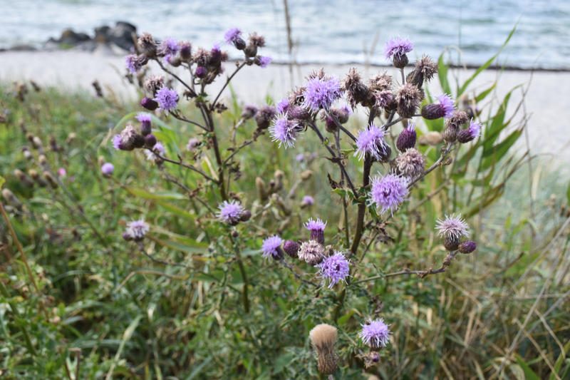 Beached thistles by Crysomandiaz