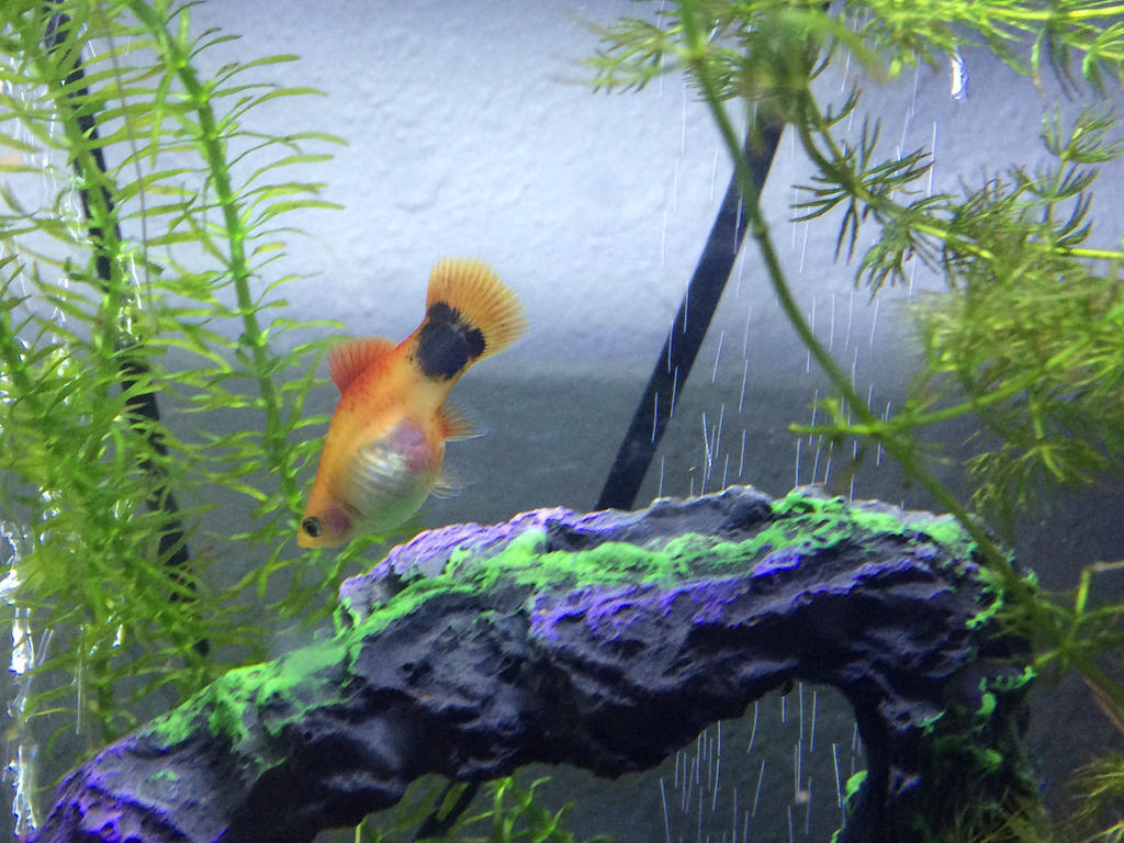 Crescent Mickey Tail Platy by FVG318