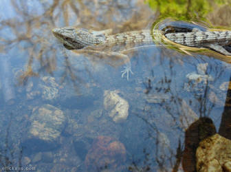 Alligator Lizard in the Water by Art-of-Eric-Wayne