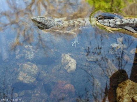 Alligator Lizard in the Water