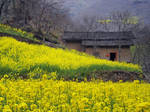 Yellow Flowers and Farmhouse, China