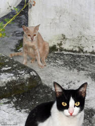 Composition with feral temple cats, Chiangmai