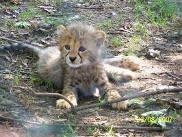 Cheetah cub by Tigerlover4