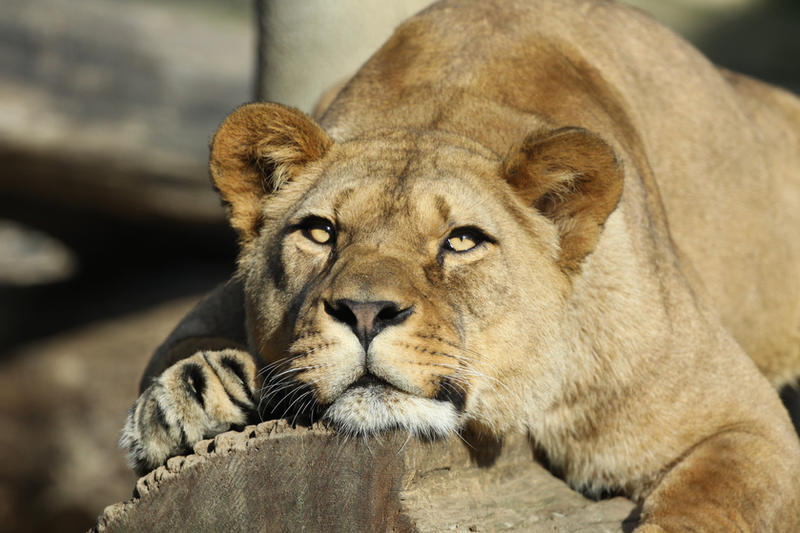 Tired lioness b...