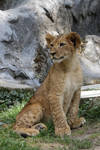 Barbary lion cub 3 by Tigerlover4