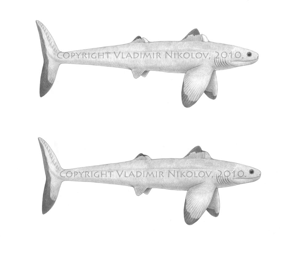 Cladoselache Shark Fossil