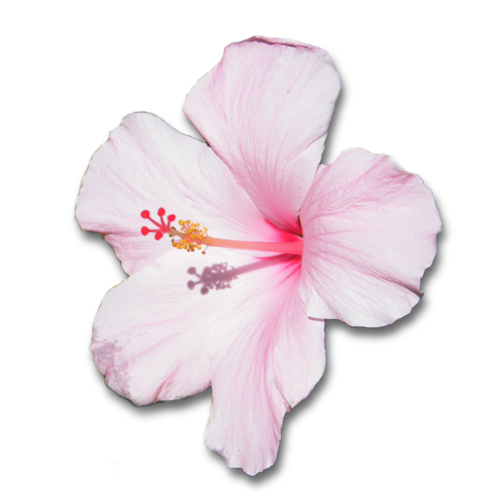 Pink Hibiscus Flower With Shadow G By Clairesolo On Deviantart
