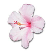 Pink Hibiscus Flower With Shadow .PNG by clairesolo