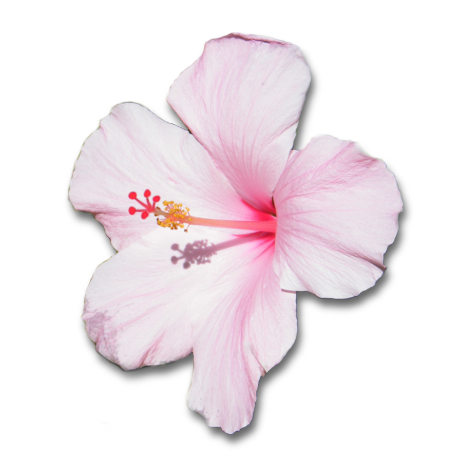 Pink Hibiscus Flower With Shadow Png By Clairesolo On Deviantart