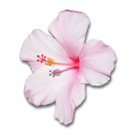 Pink Hibiscus Flower With Shadow .PNG