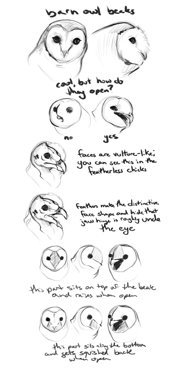 barn owl beak guide by Housekeys on DeviantArt
