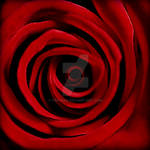 Red Rose 2007 by Finvara