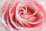 rose 1 of 3