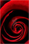 ah...red rose - Flowers