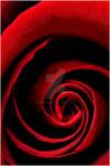 ah...red rose - Flowers by Finvara