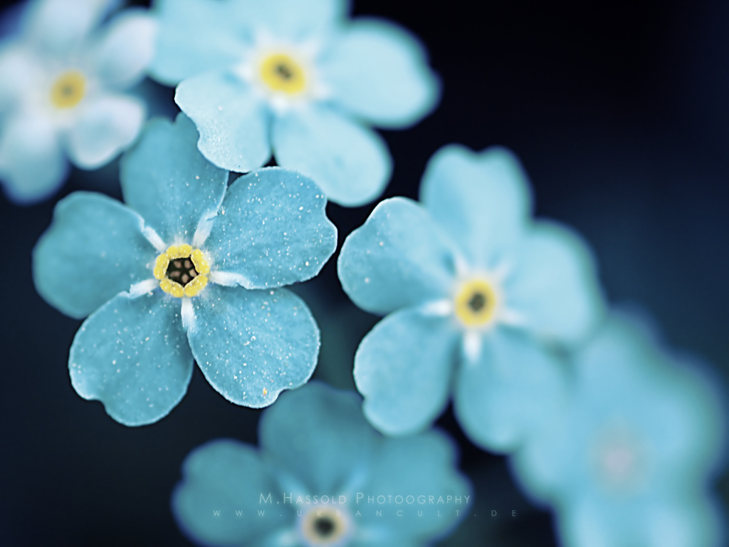simple blue flower wallpapers -#main