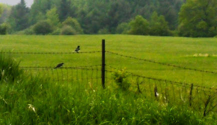 HDR Birds on Barbed Wire by DaLeahWeathers