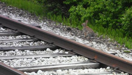 Rabbit By Tracks On Marion Hill by DaLeahWeathers