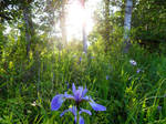 Blue LadySlippers