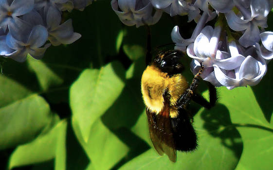 Bumble On Lilac
