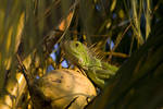 The Lizard King by submicron
