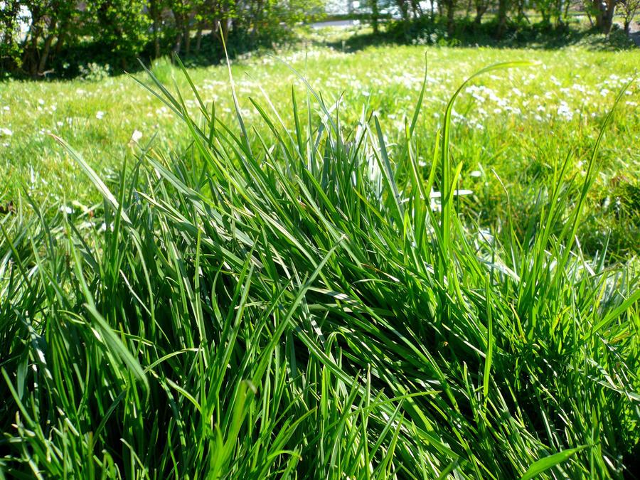 Grass by Ailedda