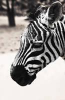 .:.Zebra.:. by Ailedda